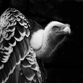 Vulture in BW by Ad Spruijt - Black & White Animals ( black and white, animal,  )