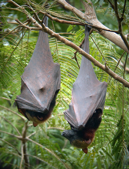 giant golden crowned flying fox MEMEs