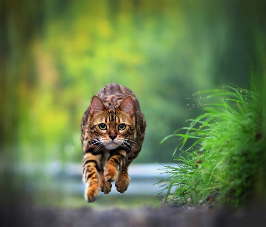 Hovering cat! by Jane Bjerkli - Animals - Cats Playing ( expression, hovering, face, cat, bengal cat, pet, summer, running, animal,  )