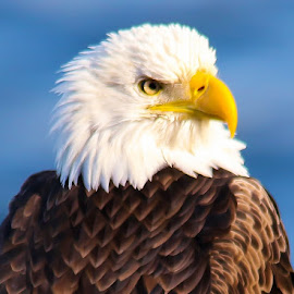 Bald Eagle by Carmen Arrigo - Novices Only Wildlife ( bird, bald eagle, © arrigo images, animal )