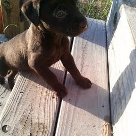 I'm A Big Dog Now by Kasha Newsom - Animals - Dogs Puppies ( animals, puppies, photography, chocolate lab )