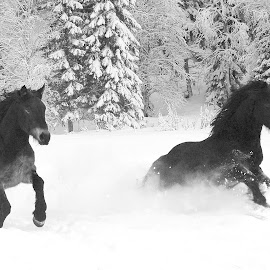 young stallions playing in snow by Kristin Smestad - Animals Horses ( stallion, hester i snø, equine, horses in snow, horses )