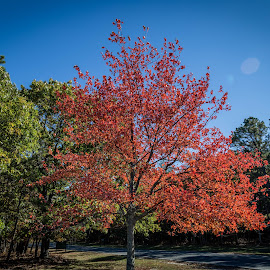 Autumn in the Lab by Yutong Pang - Landscapes Travel ( red, tree, blue, autumn, green )
