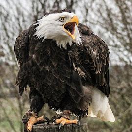 Restless by Garry Chisholm - Animals Birds ( bird, garry chisholm, eagle, nature, wildlife, prey, raptor, bald )