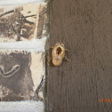 Tibicen Cicada (Shell)