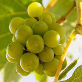 green grapes by Eva Ryan - Food & Drink Fruits & Vegetables ( fruit, vine, green, food, chapel creek wine festival,  )