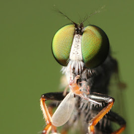 Green Killer by Karthi Keyan - Animals Insects & Spiders ( macro, insects, flies, eyes, robberfly )