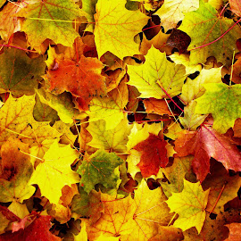 Autumn Leaves by Dan Dusek - Nature Up Close Leaves & Grasses ( autumn leaves, color, autumn, autumn colors,  )