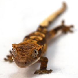 Baby Crested Gecko by Gareth Dickin - Animals Reptiles ( lizard, gecko, white, feet, cresty, eyes )
