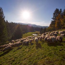 Sheep at Fall by Stanislav Horacek - Landscapes Prairies, Meadows & Fields