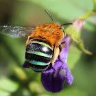 Blue-banded Bee (female)