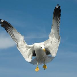 Seagull by Stefan Friedhoff - Animals Birds ( bird, wind, flight, seagull, wings, bird in flight, fly )