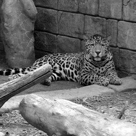 Big Cat by Briana Johnson - Animals Lions, Tigers & Big Cats ( big cat, b&w, zoo, black and white, leopard )