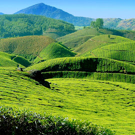 Munnar by Shameer Kamarudheen - Landscapes Prairies, Meadows & Fields ( hills, greenery, tea estate, munnar )