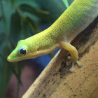 Captive Gecko