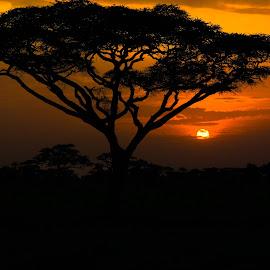 Sunset in the Serengeti by Quan Nguyen - Landscapes Sunsets & Sunrises ( serengeti, acacia tree, sunset, safari, tanzania )