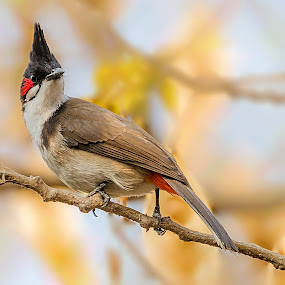 Red Whiskered Bulbul ( Pycnonotus jocosus) by Rahul Chakraborty - Animals Birds ( bird, green, portrait )