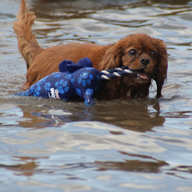 Redgie  I GOT this! by Ellee Neilands - Animals - Dogs Playing ( water, canine, fetch, cavalier, spaniel, pet, play, dog )
