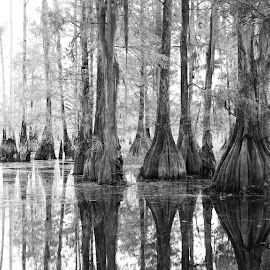 Reflections on Miccosukee by Steve Coleman - Landscapes Forests ( tallahassee, b&w, florida, reflections, trees, bald cypress, lake miccosukee,  )