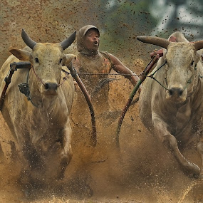 Pacu Jawi by Hendy Kayana - Animals Other ( indonesia tourism, events, sports, cow, traditional, public, animal )