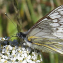 Andean White Butterfly