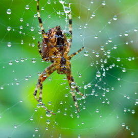 Preparing Breakfast by Tanner Christman - Nature Up Close Webs ( water, macro, nature, green, food, dew, breakfast, web, spider, morning, insect, spider web )