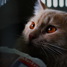 See The Light by Mohamad Hafizuddin - Animals - Cats Portraits