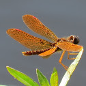 Eastern amber wing dragonfly