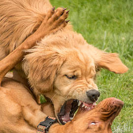 Going For The Jugular by Sue Matsunaga - Animals - Dogs Playing