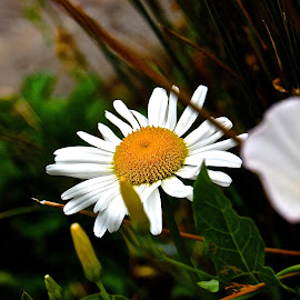 Waiting Daisies by Jordan M Newington - Novices Only Flowers & Plants ( beautiful flower, oregon, daisies, flower, sundialbridge )