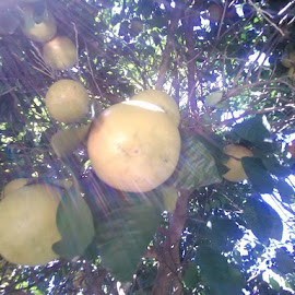 Grapefruits needed another month to ripen for picking. by Cynthia Gardner - Nature Up Close Gardens & Produce