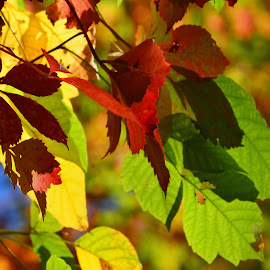 Fall Colors- all in one by Pamela Chandra - Nature Up Close Leaves & Grasses ( greens, reds, colors, orange leaves, fall, all in one, leaves )