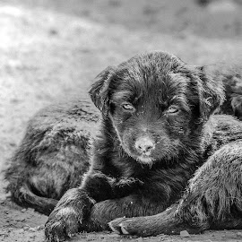 An Indian Street Dog by Amit Singho - Animals - Dogs Puppies ( animals, puppies, dogs, india, puppy,  )