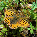 Queen of Spain Fritillary (Croatian shot)