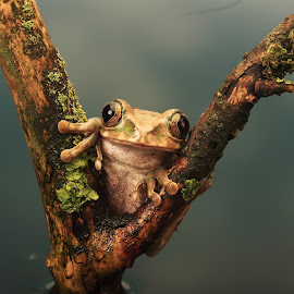 Peacock Tree Frog by Ceri Jones - Animals Amphibians ( reptiles, macro, tree, frog, amphibians, close-up, peacock )