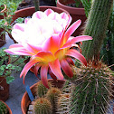 Easterlily cactus