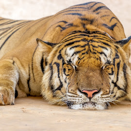 Sleeping Beauty by Manal Ali - Animals Lions, Tigers & Big Cats ( tiger, 2014, tiger temple, thailand, animal,  )