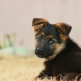 Gunnar by Rocky Couder - Animals - Dogs Puppies