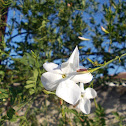 Common jasmine (Γιασεμί)