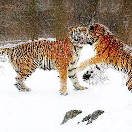 Snow Fight by John Larson - Animals Lions, Tigers & Big Cats