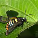 Gymnelia Wasp Moth
