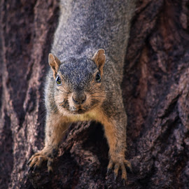 Center Stare by Wes Jourdan - Animals Other Mammals ( tree, squirrel )