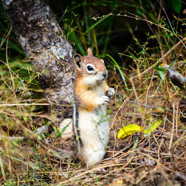 Chipmonk by Rich Roper - Novices Only Wildlife ( chipmonk, brush, rodent, cute, standing,  )