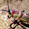 Milkweed locust?
