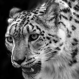 eyes by Michael Smith - Animals Lions, Tigers & Big Cats