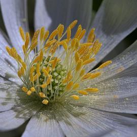 Anemone by Nikola Vlahov - Flowers Single Flower ( pollen, anemone, white, close up, flower )