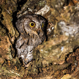 Scops Owl by Craig Main - Animals Birds ( bird, scops owl, christmas 2012, avian, owl )