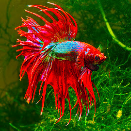 Betta with moss background by David Winchester - Animals Fish