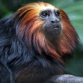 Lion Mane Golden Tamarin by Ralph Harvey - Animals Other Mammals ( tamarin, wildlife, ralph harvey, marwell zoo, animal )