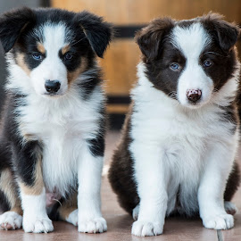 by Michael de Nobrega - Animals - Dogs Puppies ( #GARYFONGPETS, #SHOWUSYOURPETS )